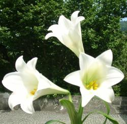 lilien